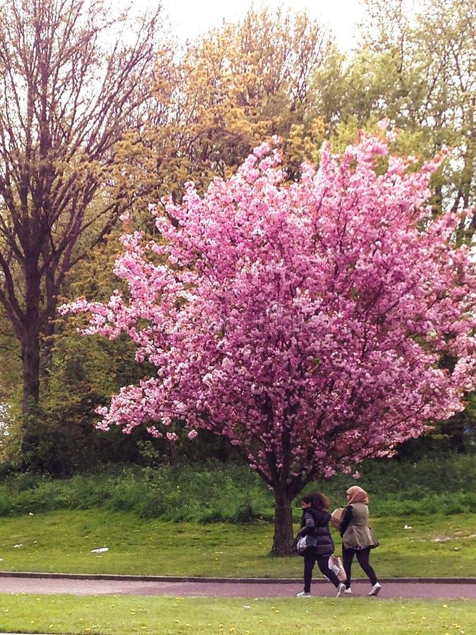 走通过一棵美丽的开花的春天树的两个女孩 库存照片