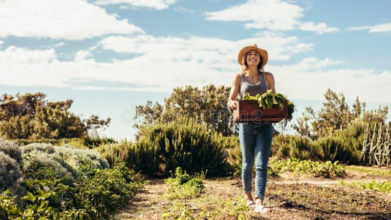 走通过与新收获的领域的女性农夫 免版税库存图片