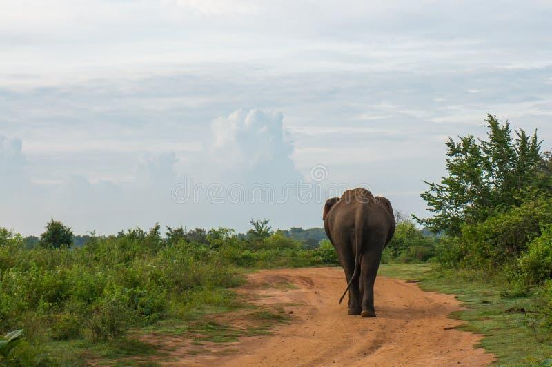 走通过有名望的Udawalawe国家公园的大象在斯里兰卡 免版税库存照片