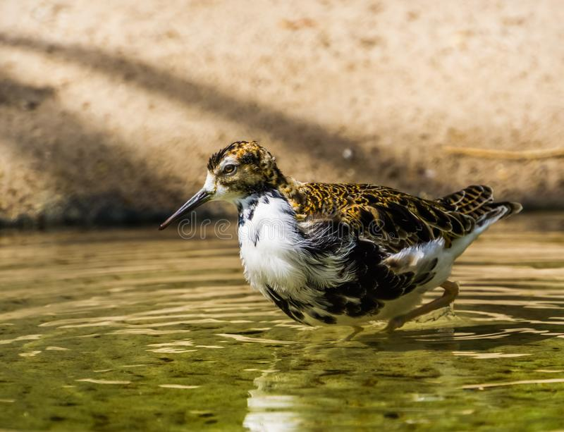 走通过水的一张母出王牌的特写镜头画象,从欧亚大陆的涉水鸟 库存图片
