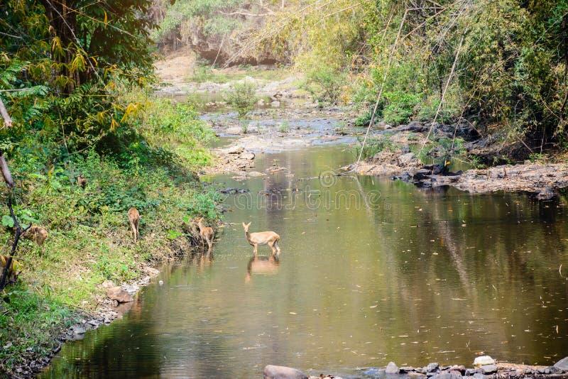 走通过水的鹿和hinds到森林 免版税库存图片