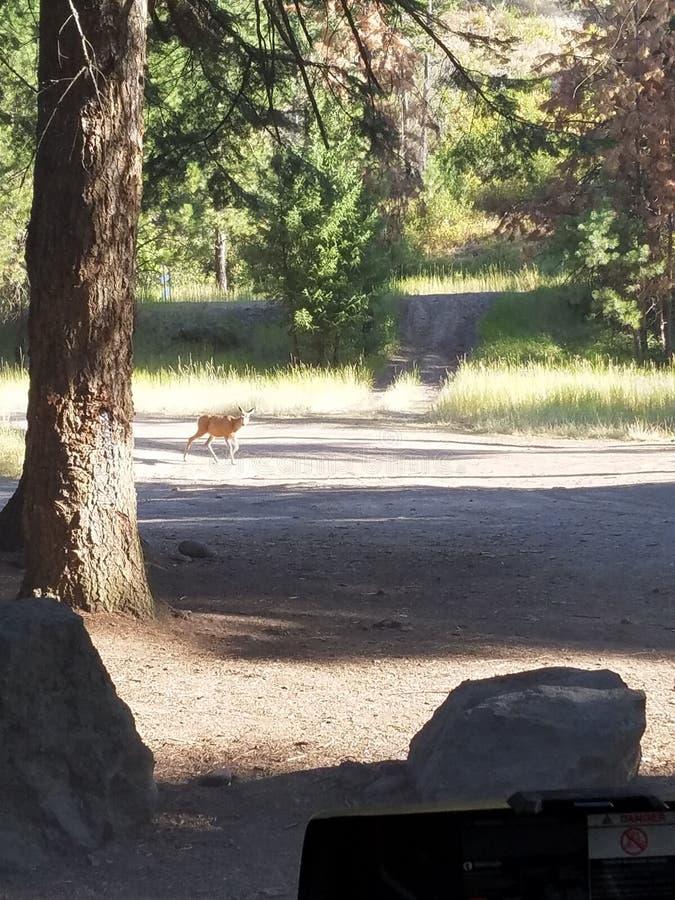 走通过清洁的鹿 免版税图库摄影