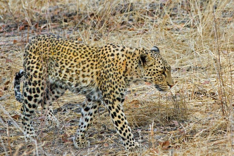 走通过灌木的一头被隔绝的豹子在埃托沙国家公园 图库摄影