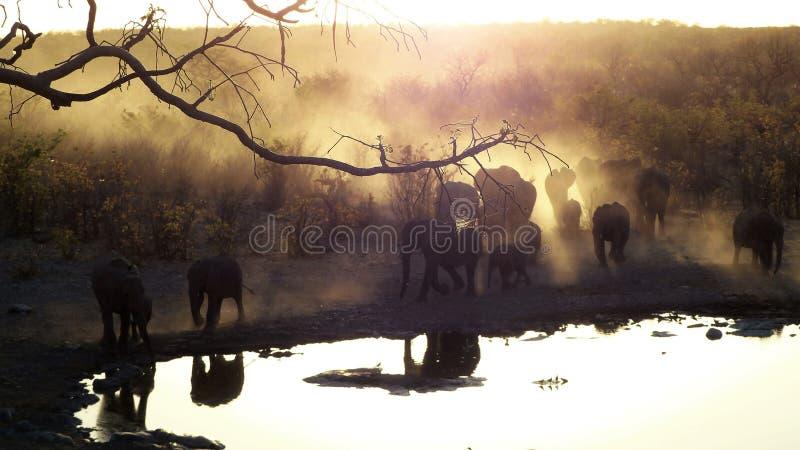 走通过金黄晚上太阳的大象牧群在waterhole 免版税库存照片