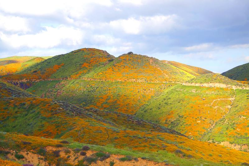 走通过鸦片五颜六色的橙色小山的游人在加利福尼亚在超级绽放期间 免版税库存图片