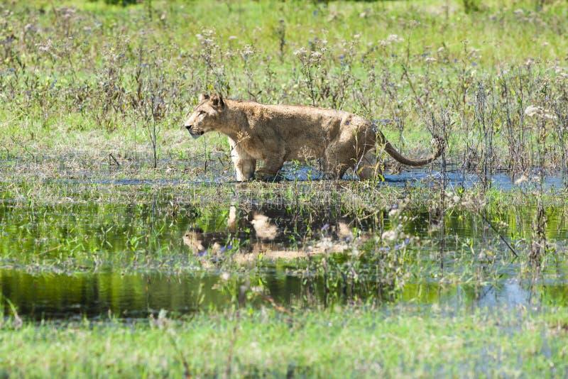 走通过水的狮子 免版税库存图片