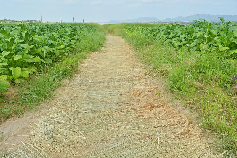 走道在烟草种植园 免版税库存照片