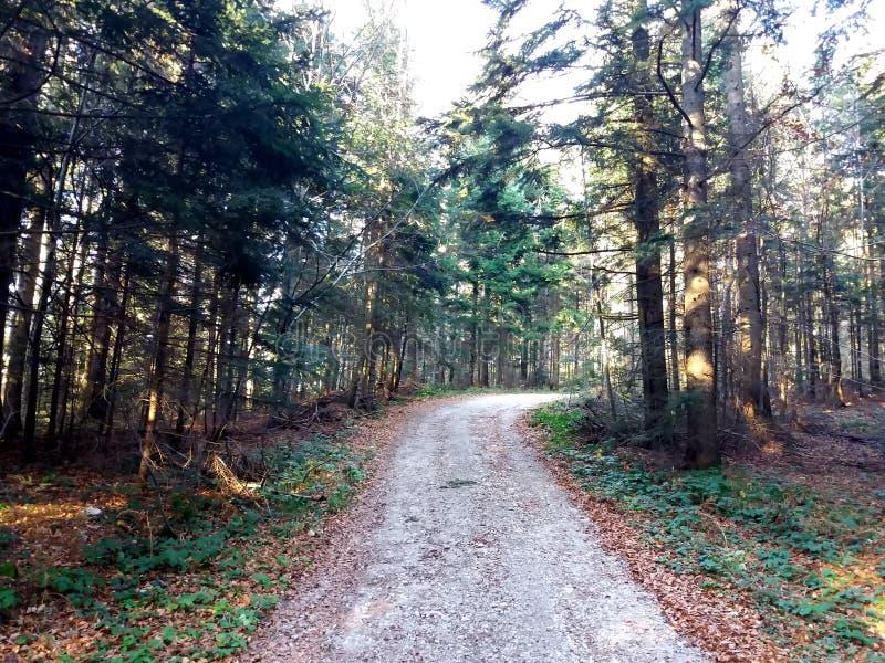 走道有绿色树的车道道路在森林美丽的胡同,路在公园 方式通过夏天森林 免版税库存图片