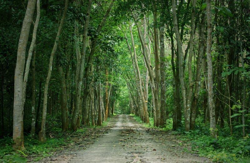 走道有高大的树木的车道道路在森林里:泰国 库存图片