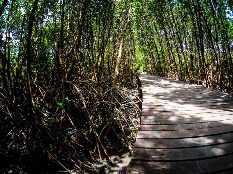 走道:木桥在Laem的Phak Bia,Phetchaburi泰国美洲红树森林里 库存图片