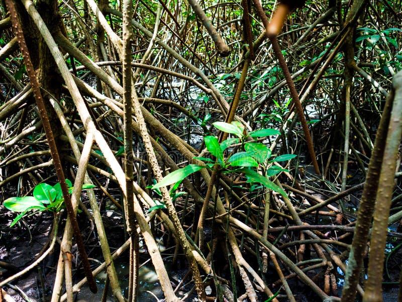 走道:木桥在Laem的Phak Bia,Phetchaburi泰国美洲红树森林里 免版税图库摄影