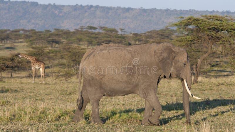 走马赛马拉的平原的非洲大象 库存照片