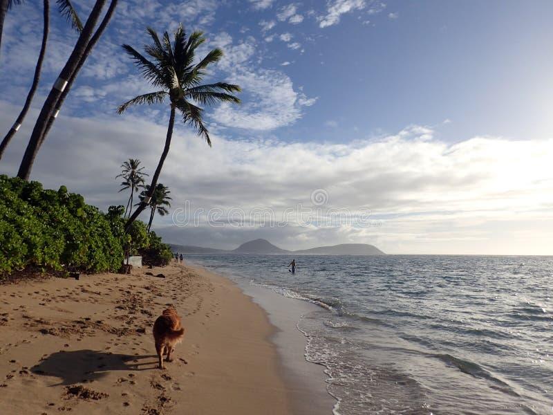 走从事在e的金毛猎犬狗沿与尾巴的海滩 免版税库存照片