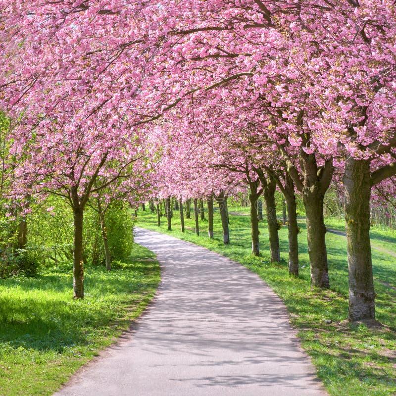 走forme的道路的开花的樱桃树胡同  库存图片
