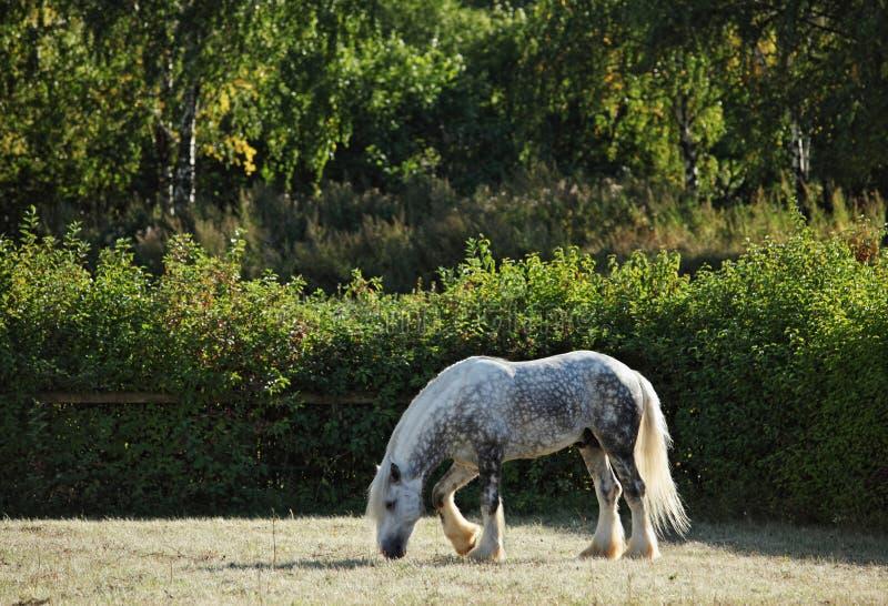 起斑纹吃草在草甸的灰色Percheron起草 免版税库存照片