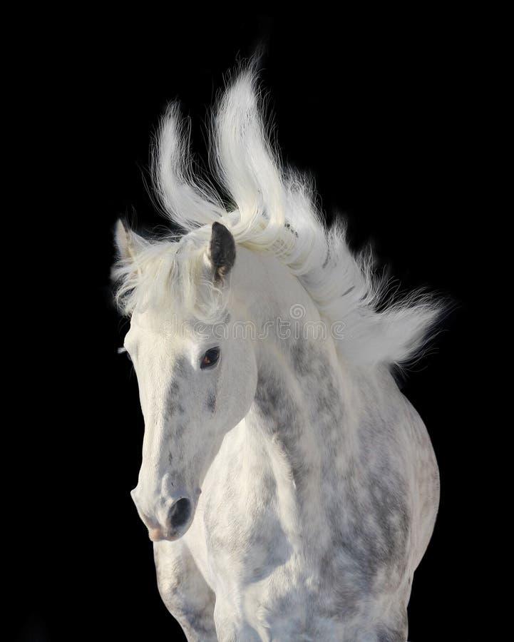 起斑纹灰色公马 免版税图库摄影