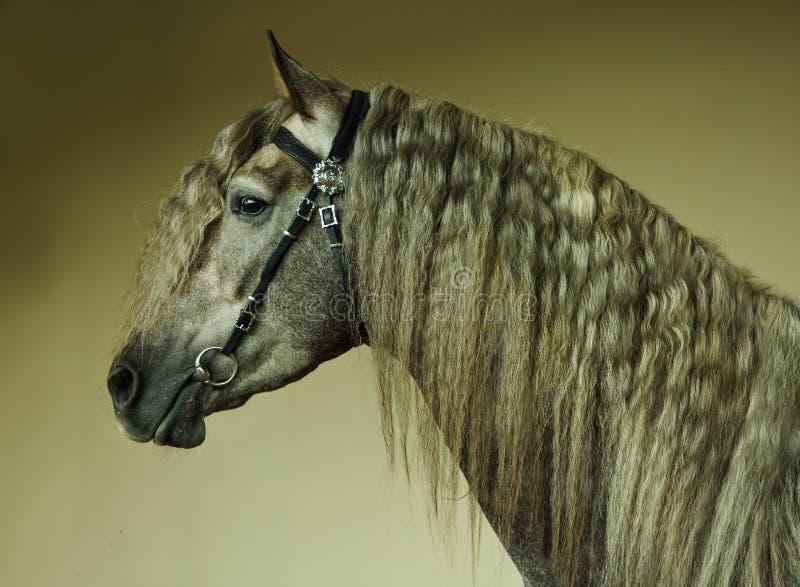 起斑纹灰色安达卢西亚的马画象 图库摄影