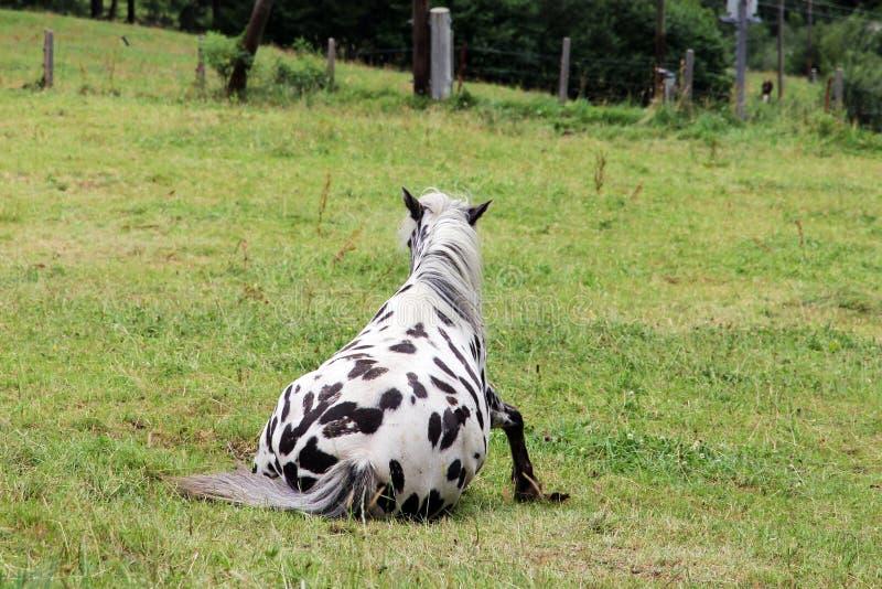 起来在草甸的一匹黑白马的搞笑照片 免版税库存图片