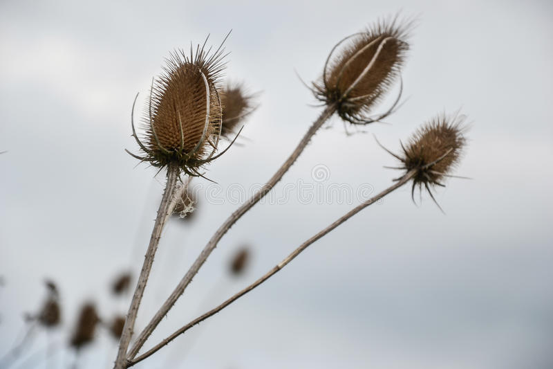 起毛机& x28; 川续断属fullonum& x29;在草甸 teazel干燥头状花序  图库摄影