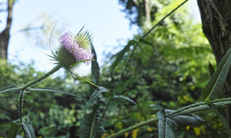 起毛机(川续断属fullonum)在草甸 teazel头状花序  库存图片
