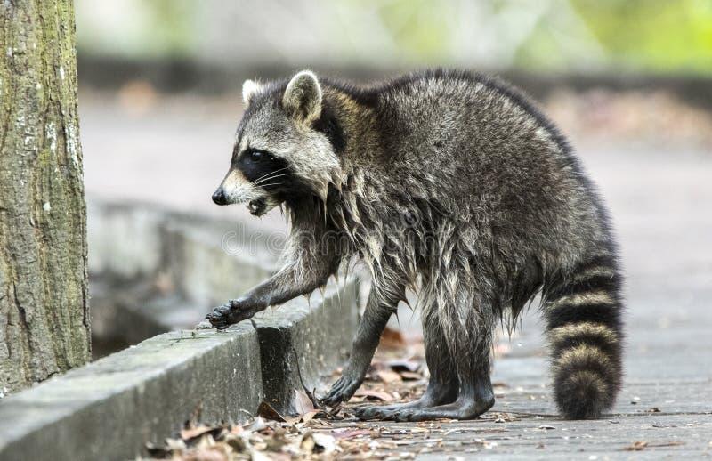 起泡沫在嘴的狂暴的浣熊 免版税库存图片