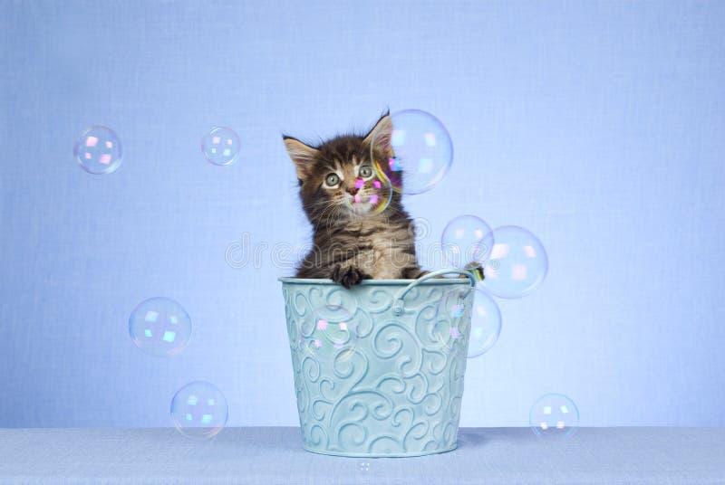 起泡浣熊逗人喜爱的小猫缅因 图库摄影