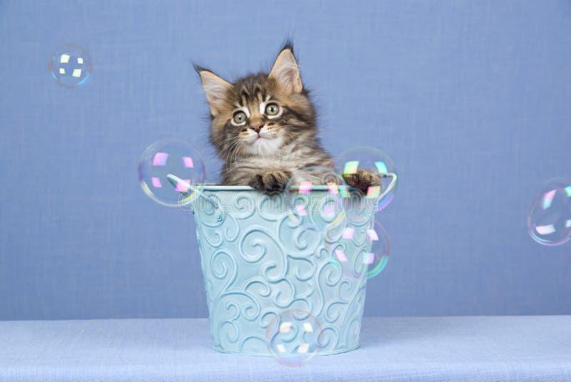 起泡浣熊逗人喜爱的小猫缅因 库存照片