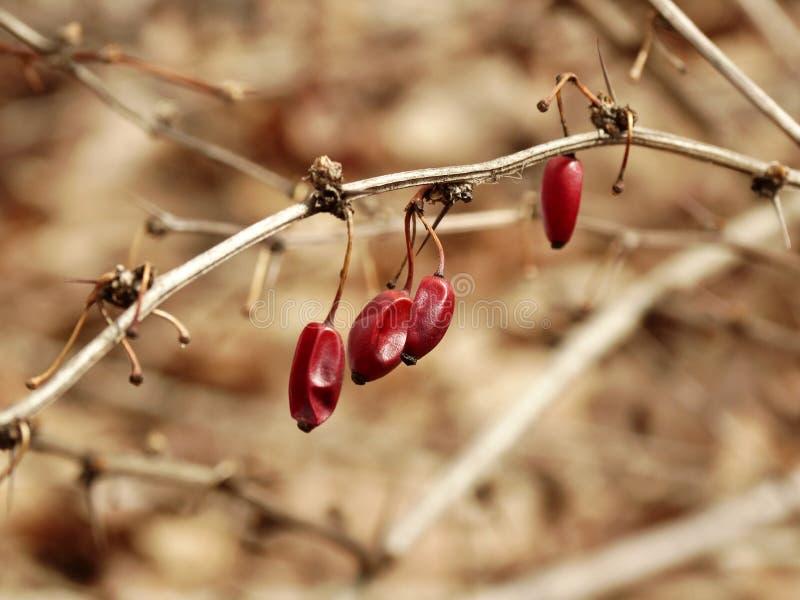 起皱纹的莓果 免版税库存照片