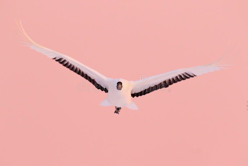 起重机日落,日本 鸟飞行,从多雪的自然的野生生物场面 在多雪的草甸,俄罗斯,亚洲上的红被加冠的起重机飞行 冷 免版税图库摄影