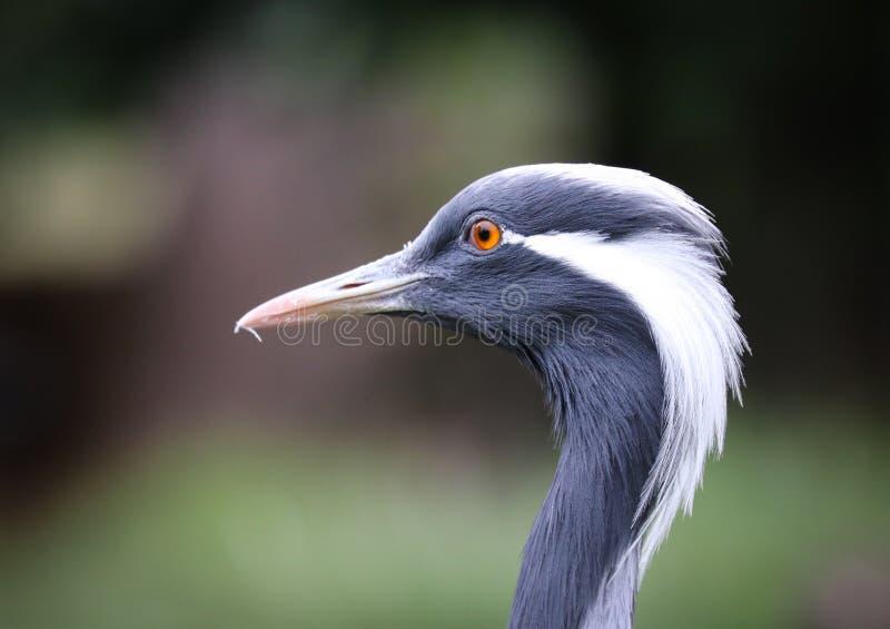 起重机是家庭,Gruidae,在小组鹤形目的大,长腿和长收缩的鸟 库存图片