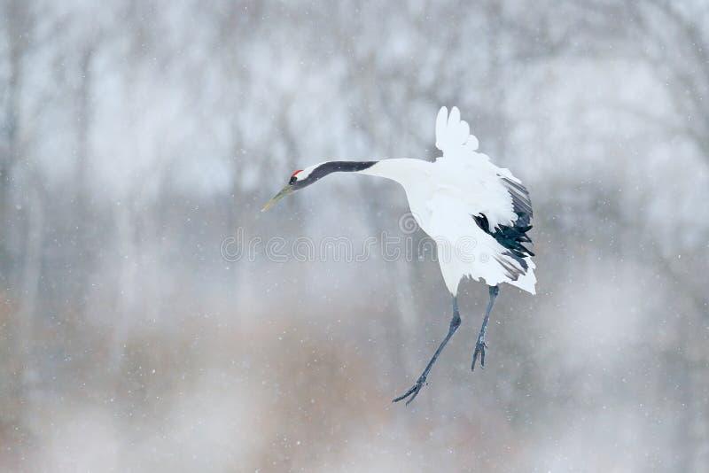 起重机,与雪花的冬天场面 从多雪的自然的野生生物场面 两台红被加冠的起重机在多雪的草甸,北海道,日本 C 免版税库存照片