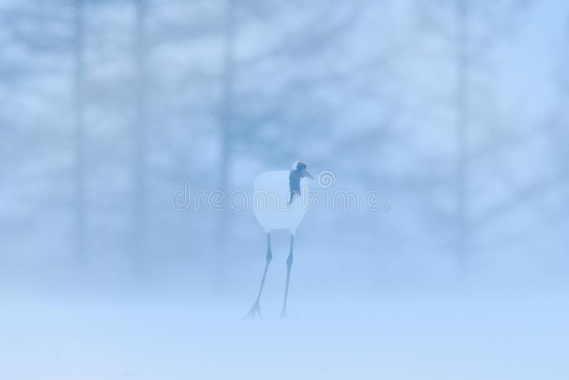 起重机,与雪花的冬天场面 从多雪的自然的野生生物场面 两台红被加冠的起重机在多雪的草甸,北海道,日本 免版税库存照片