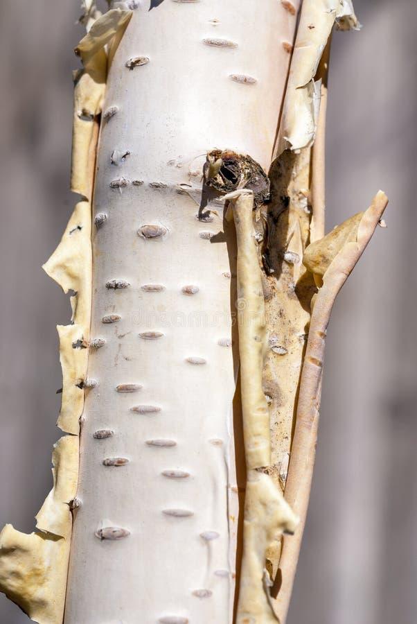 桦树树干的特写镜头 免版税库存图片