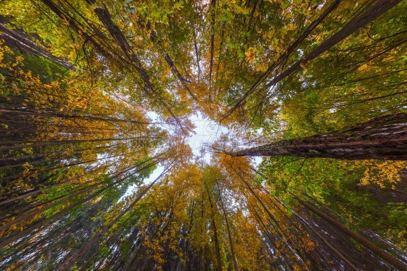 超广角向上射击在秋天白天森林,多云天气里 库存图片