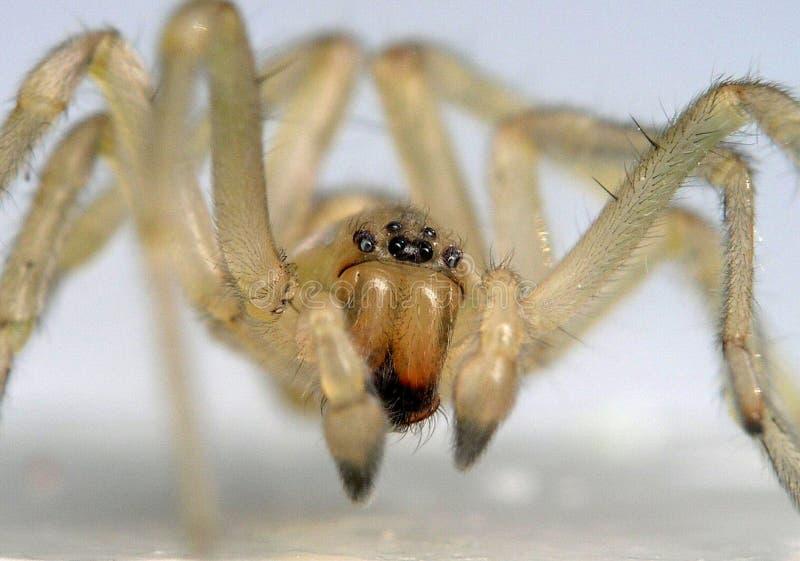 超级宏观的蜘蛛 库存照片