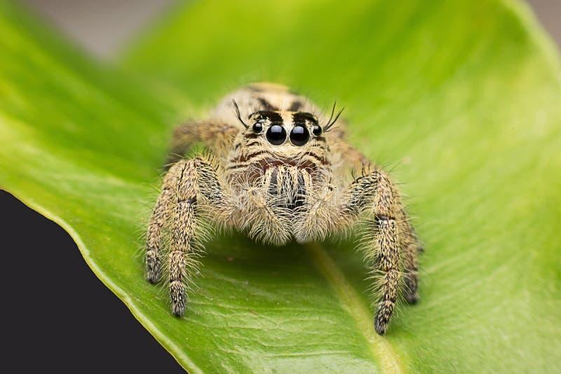 超级宏观跳跃的蜘蛛在热带公园 库存照片
