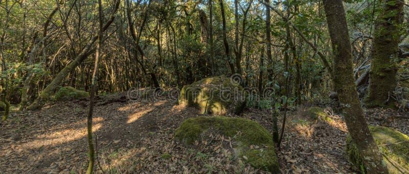 超级广角全景 加拉霍奈国家公园山的倾斜的寡妇森林 巨型月桂树和树海瑟 图库摄影