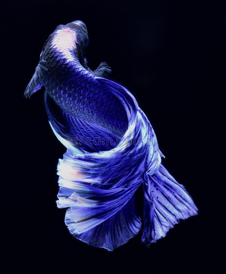 超级蓝色Betta暹罗战斗的鱼 库存图片