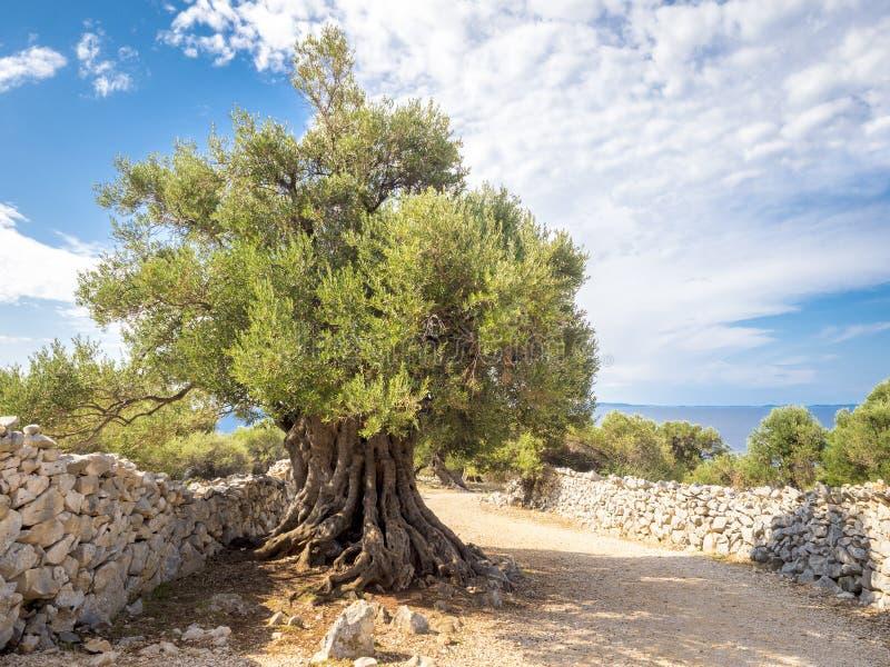 超过1600岁沙枣树 免版税库存照片