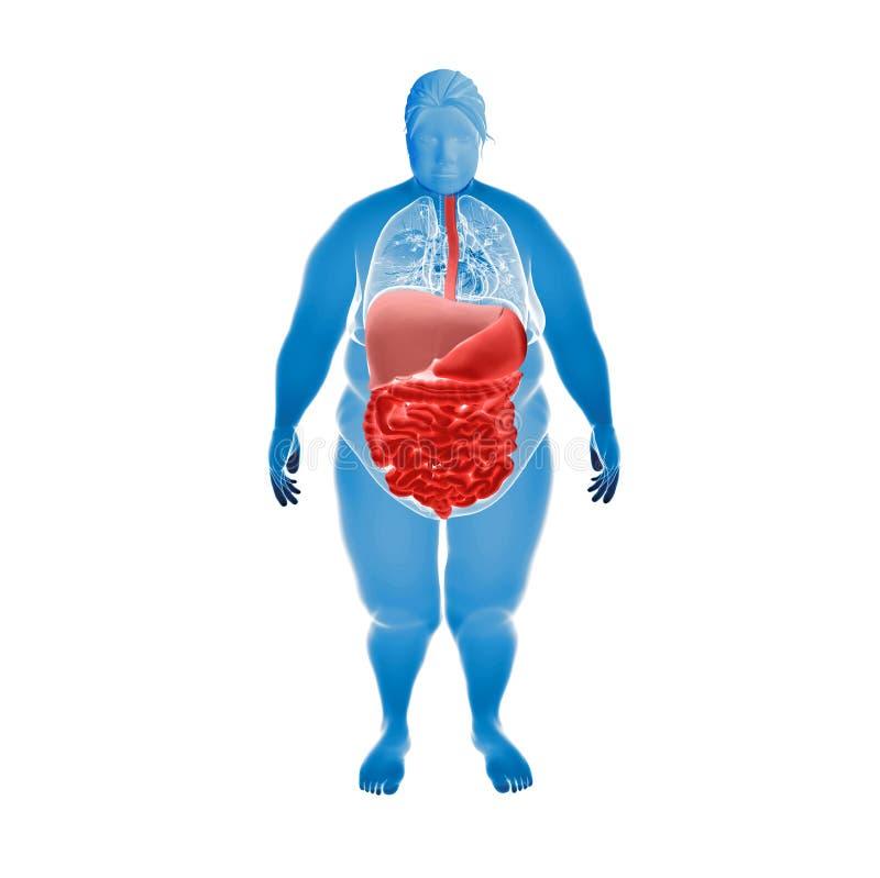 超重女性消化系统  向量例证