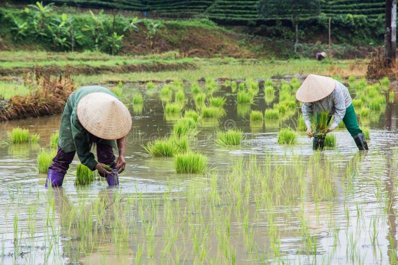 越南农夫在领域的成长米 免版税库存照片