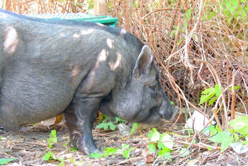 越南猪 微型黑的猪 免版税库存照片