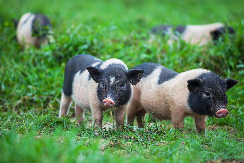 越南猪 库存照片