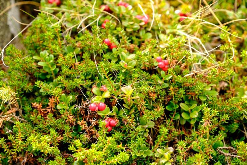 越橘和越橘的莓果领域在森林成熟的莓果在自然环境里 免版税图库摄影
