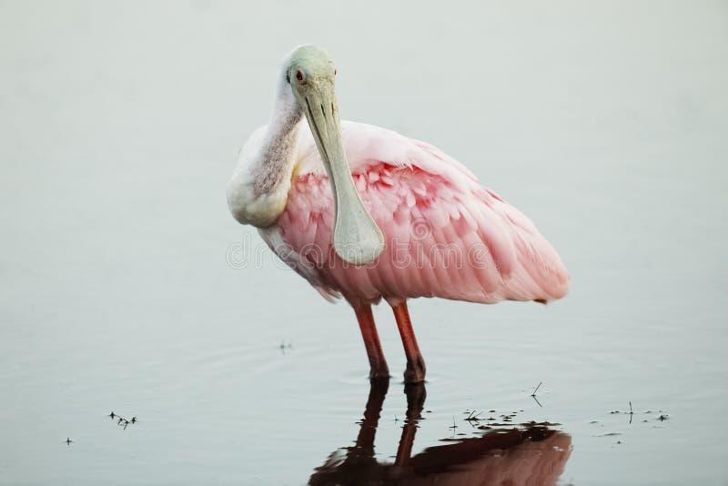 趟过在一个浅池塘-佛罗里达的粉红琵鹭 免版税库存照片