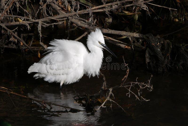 趟过在河的小白鹭白色鸟 免版税库存图片