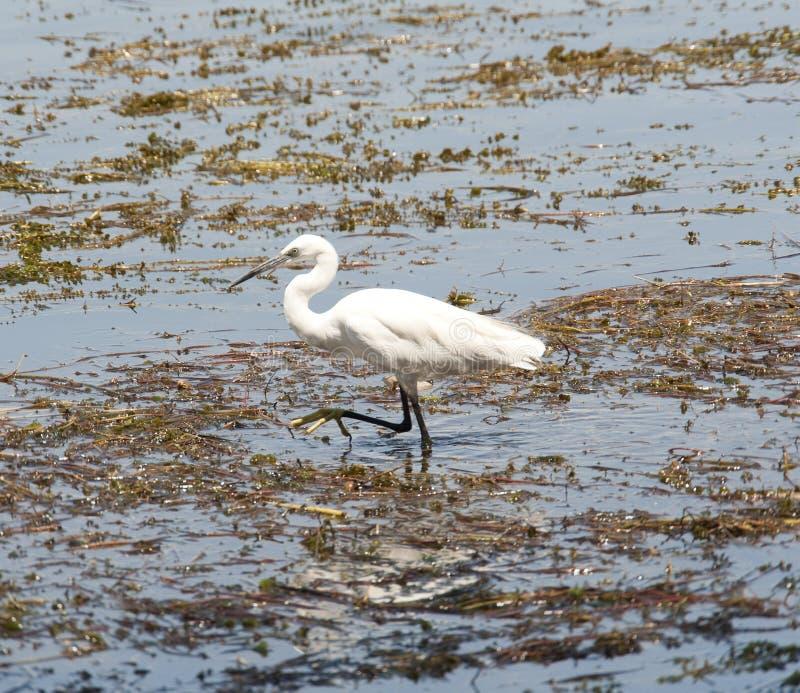 趟过在浅水区的小白鹭 库存图片