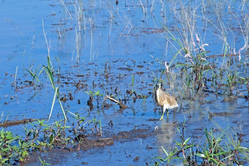 趟过在浅水区的未成熟的SQUACCO苍鹭 免版税库存照片
