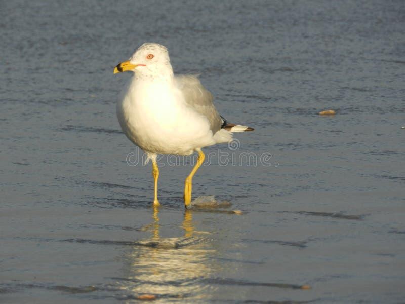 趟过在海浪的海鸟 库存照片