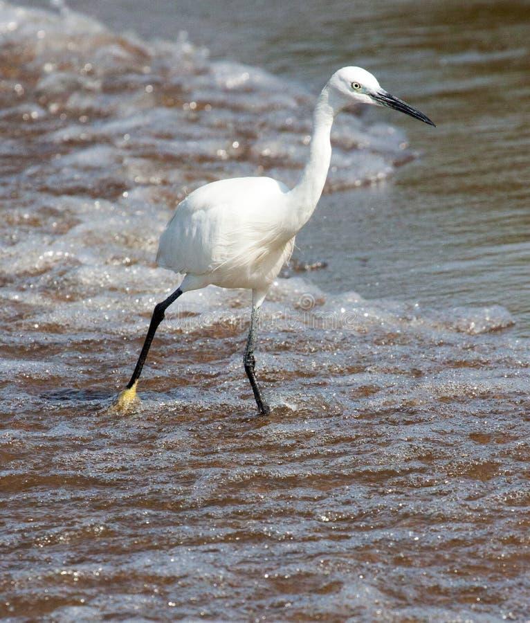 趟过在海滩的小白鹭 免版税库存图片